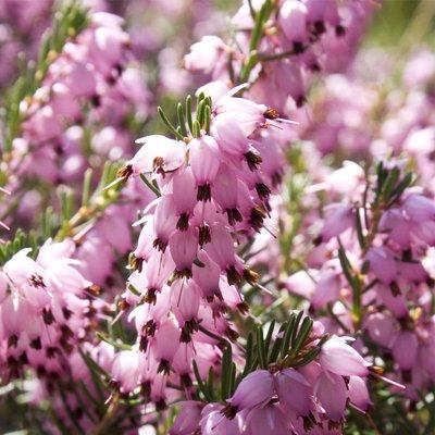 Erica x darleyensis