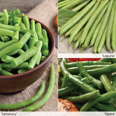 Dwarf French Bean All Season Collection