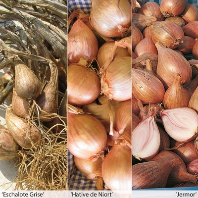 Autumn Planting Shallot Collection