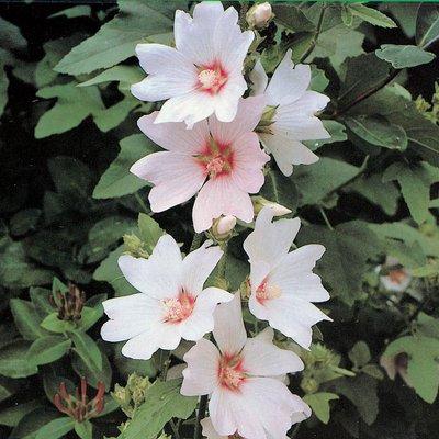 Lavatera x clementii
