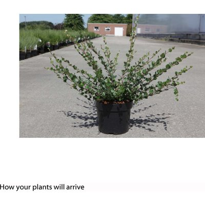 Betula nana