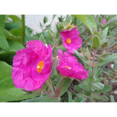 Cistus x pulverulentus