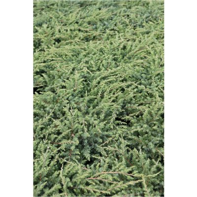 Juniperus rigida subsp. conferta