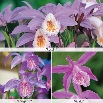 Pleione (Orchid) Collection