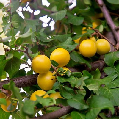 Cherry plum (Hedging)