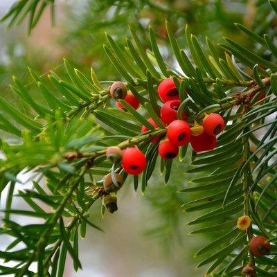 English Yew (Hedging)