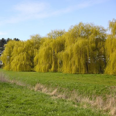 Golden Weeping Willow (Hedging)