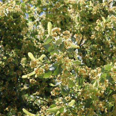 Tilia cordata (Hedging)