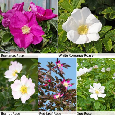 Rose Hedging Collection