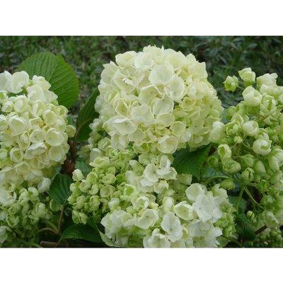 Viburnum plicatum f. plicatum
