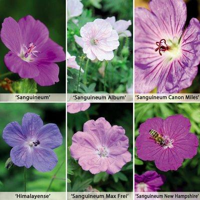 Hardy Geranium Collection 6 Plants