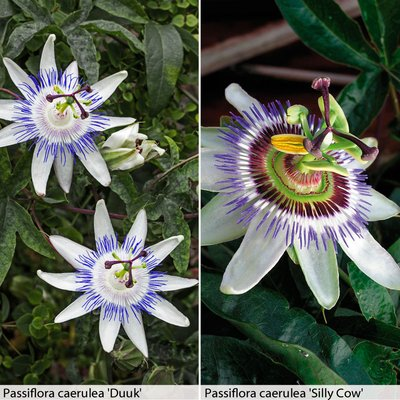 Passion Flower Duo