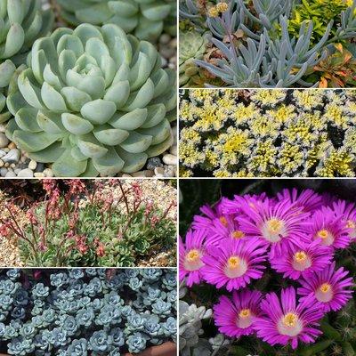 Nurserymans Choice Sedum & Succulent Collection