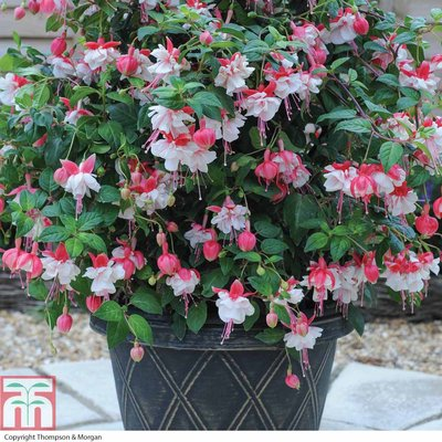 Giant Patio Fuchsia