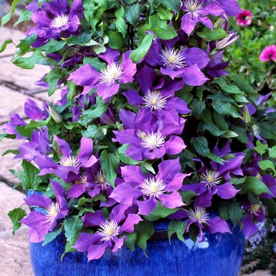 Clematis Chevalier evipo040