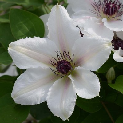 Clematis The Countess Of Wessex evipo073