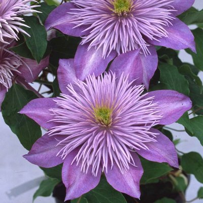 Clematis Crystal Fountain evipo038