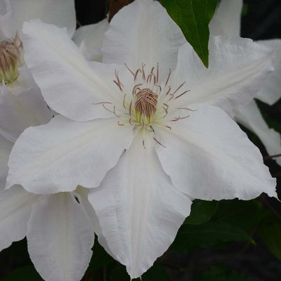 Clematis Hyde Hall evipo009