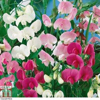 Lathyrus latifolius (Mixed)