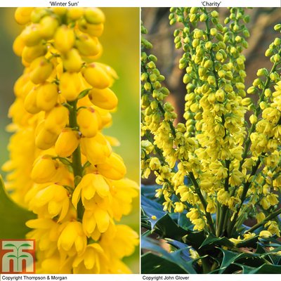 Mahonia Collection