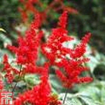 Astilbe Red