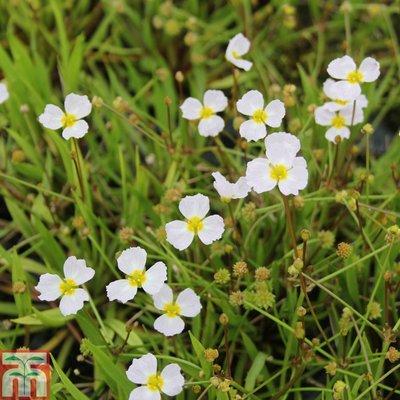 Baldellia ranunculoides (Marginal Aquatic)