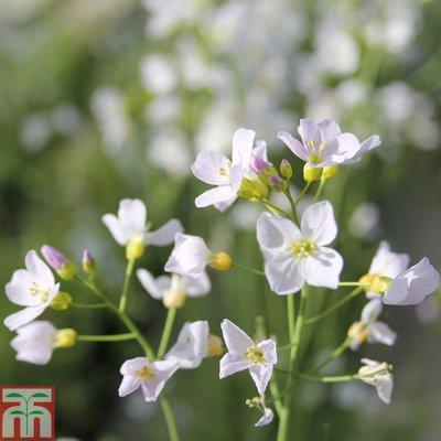 Cardamine pratensis (Marginal Aquatic)