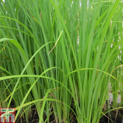 Carex acuta (Marginal Aquatic)