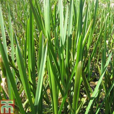 Glyceria maxima (Marginal Aquatic)