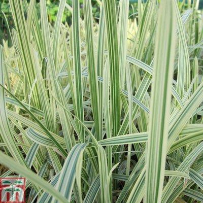 Glyceria maxima var. variegata (Marginal Aquatic)