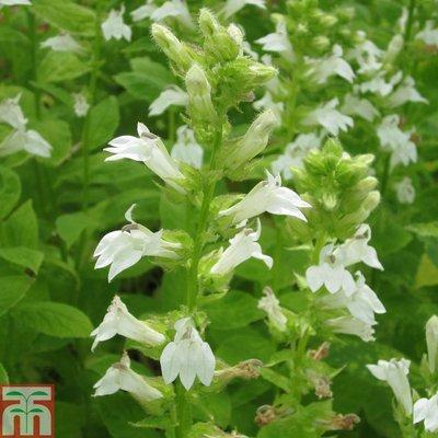 Lobelia siphilitica f. albiflora