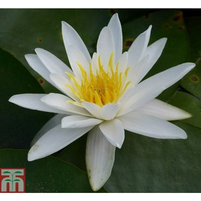 Nymphaea alba (Deep Water Aquatic)