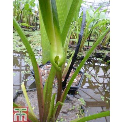 Peltandra undulata (Marginal Aquatic)
