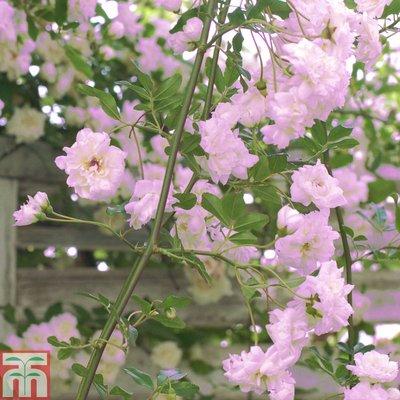 Rose banksiae