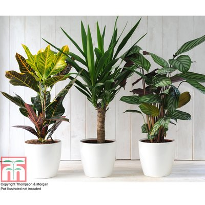 Green Houseplants Trio (House Plant)