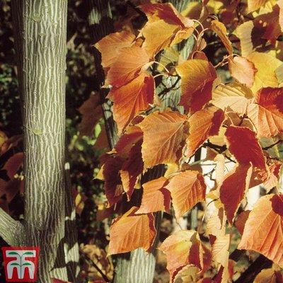 Acer capillipes