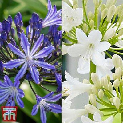 Agapanthus Duo Blue Ribbon & Ever White