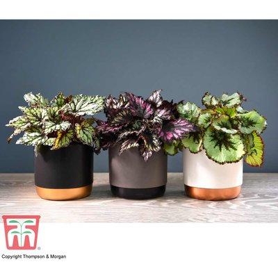 Begonia rex Trio (House plant)