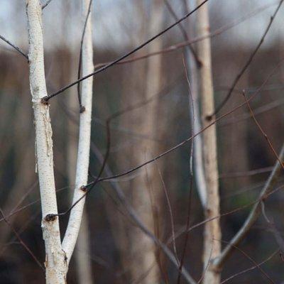 Betula pendula (clump)