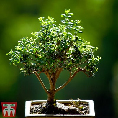Bonsai Ligustrum (House Plant)
