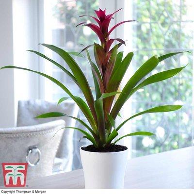 Bromeliad (House Plant)
