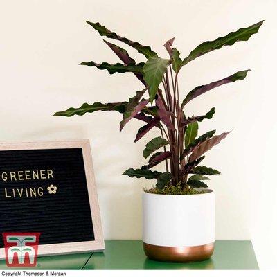 Calathea rufibarba (House Plant)