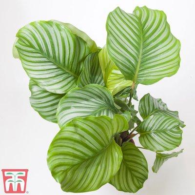 Calathea orbifolia (House Plant)
