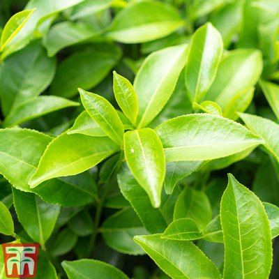 Camellia sinensis var. assamica