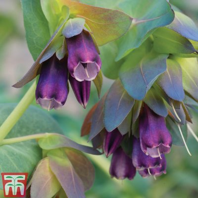 Cerinthe major