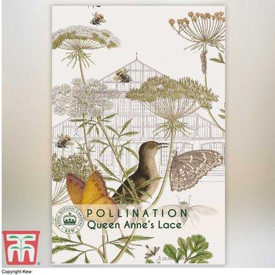 Daucus carota - Kew Pollination Collection