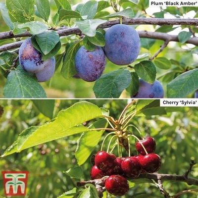 Cherry & Plum Duo (Mini Fruit Trees)