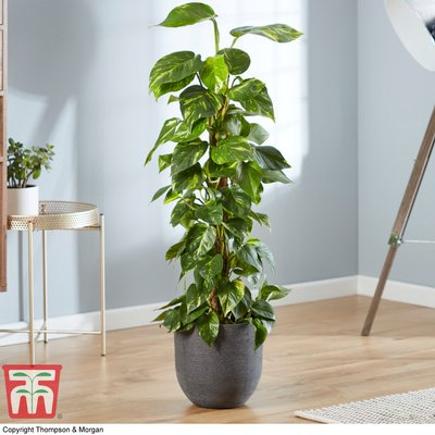 Epipremnum aureum (House Plant)