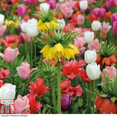 Fritillaria imperialis & Tulip Bulb Mix