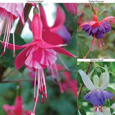 Fuchsia Hardy Collection